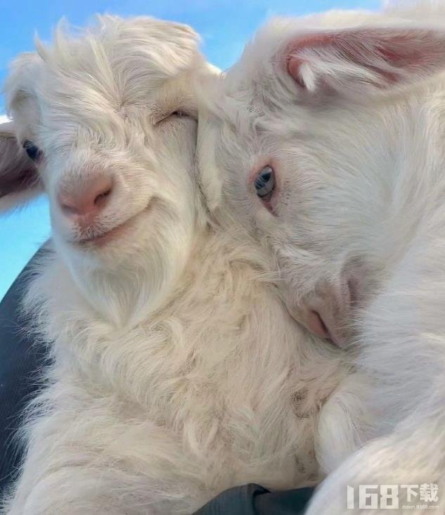 两只小羊贴脸壁纸
